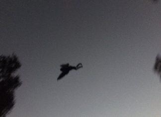 Flying Creeper
